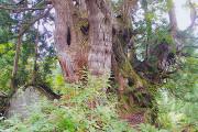 H23 9月12日 この森最大の洞杉と若い洞杉(径20~30cm)2本 スポット写真