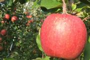 加積りんご スポット写真